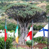 Drago/Dragon Tree, Icod de los Vinos. Another Iconic Tenerife Image
